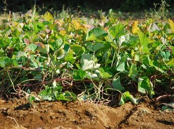 201026_お芋掘り.jpg
